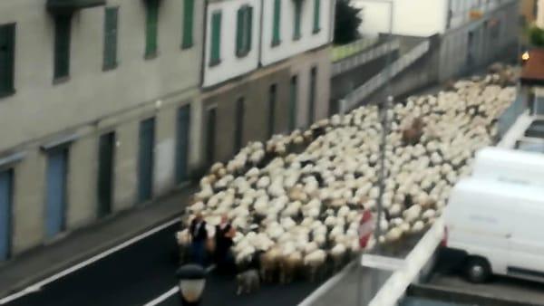 transumanza pecore lecco 23 maggio 2020 foto Rosa Bottini-2