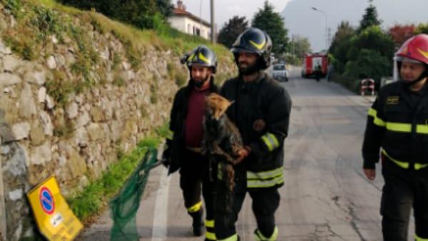 salvataggio volpe pompieri abbadia 12 ottobre 20191-2