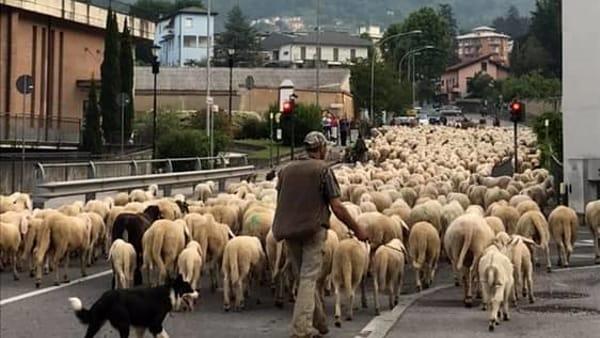 transumanza pecore lecco 23 maggio 2020 foto Mattia Cattaneo-2