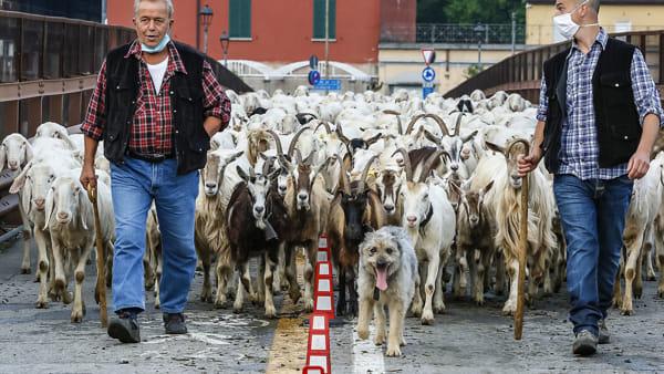 stefano pensotti foto transumanza pecore lecco 23 maggio 20202-2