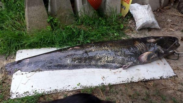 Pesce siluro Olginate-3
