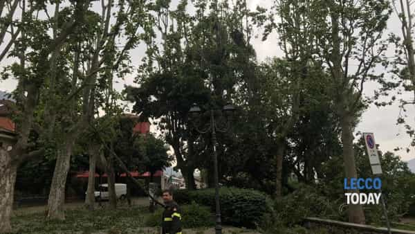 Pianta caduta Pescarenico Piazza Era 11 06 19 (3)