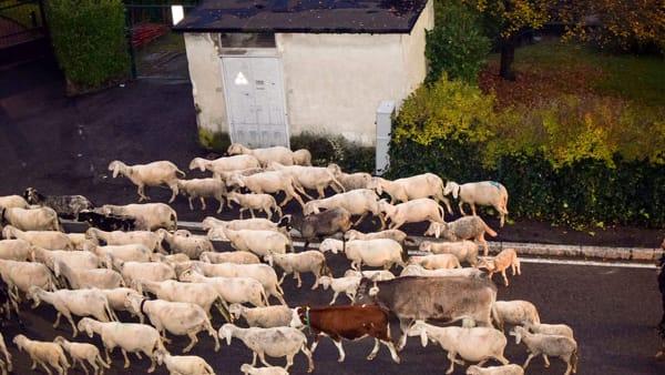 pecore transumanza Lecco (1)-2