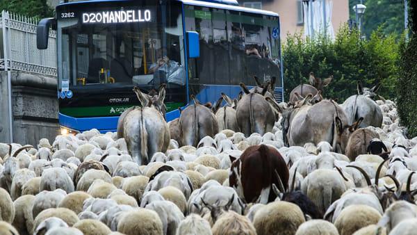 stefano pensotti foto transumanza pecore lecco 23 maggio 20203-2