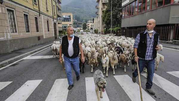 stefano pensotti foto transumanza pecore lecco 23 maggio 20201-2
